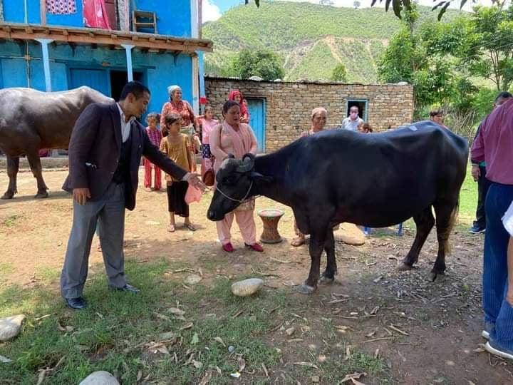 किसानको गोठमा भैसी पुर्याउन नगर प्रमुख